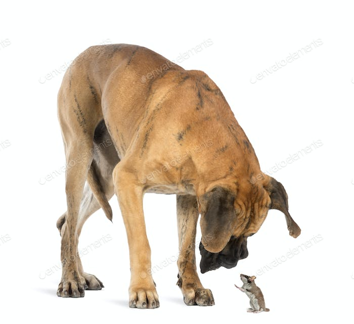 Great Dane looking at a mouse standing up, isolated on white