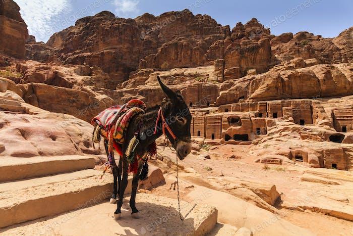 Beduinen Esel im alten Petra. Jordanien