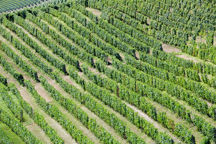 Vineyards aerial view background in a sunny day