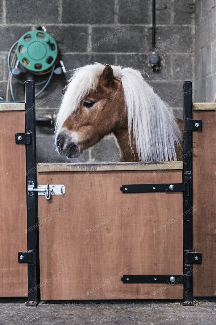 A Shetland pony with a long blonde mane in its box at a stable.