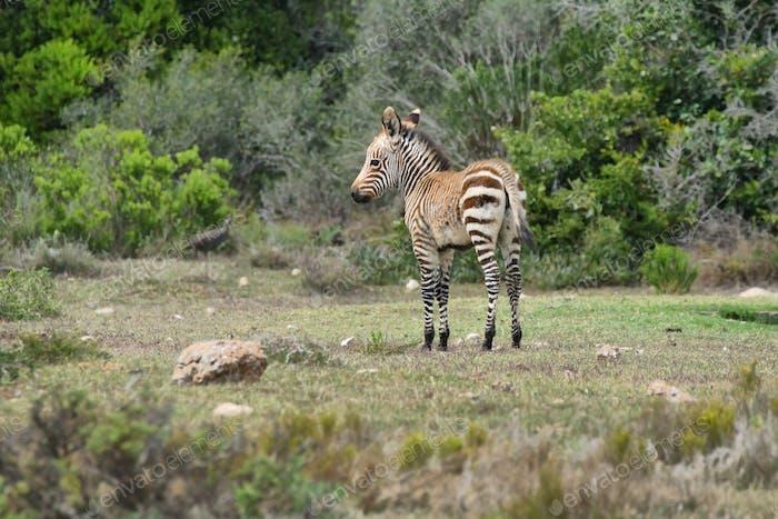 Young Zebra in De hoop nature reserve