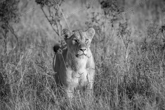 Lion standing in the grass in Chobe.