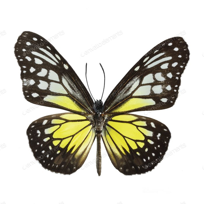 Yellow Glassy Tiger butterfly