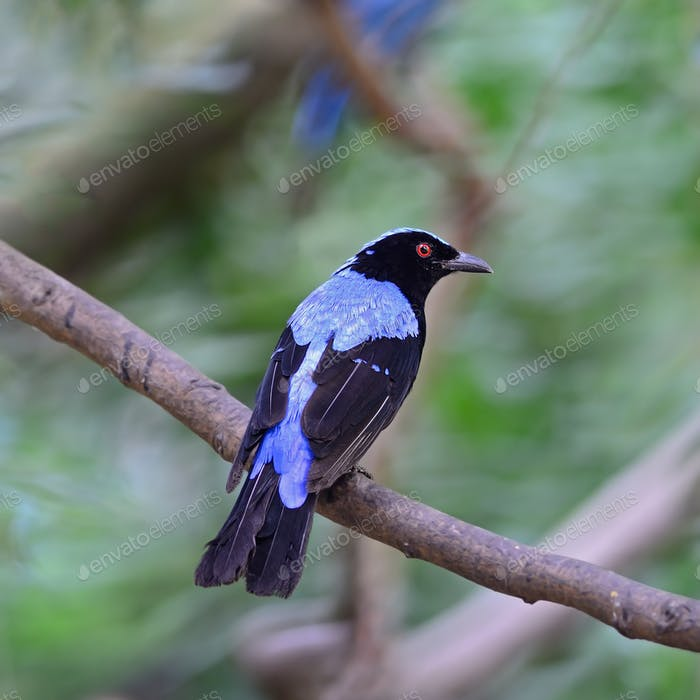male Asian Fairy Bluebird