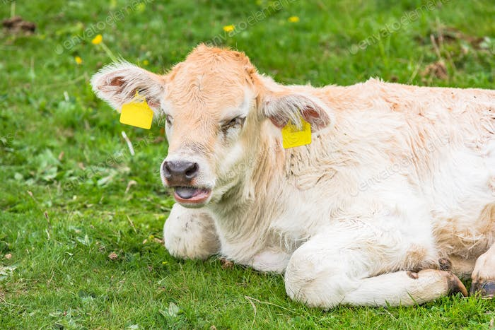 Young cow on green grass
