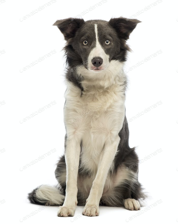 Border Collie, 8 months old, sitting and looking at the camera in front of white background