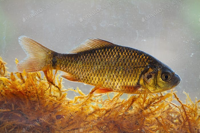 Alive young crucian carp diving in river water under surface