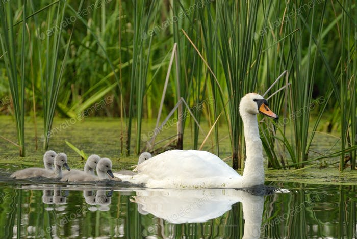 Female the mute swan (Cygnus olor) with chicks , rear view.