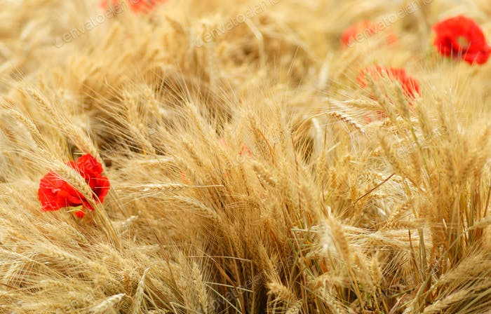 Field of golden wheat with red poppy flowers