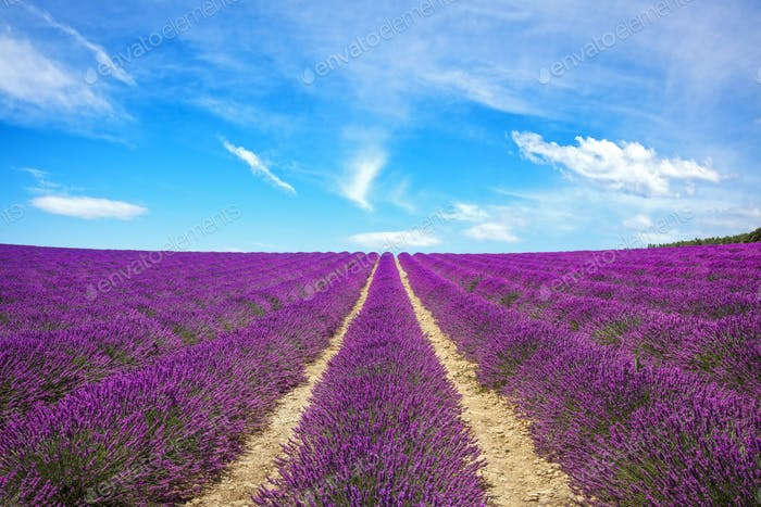 Lavender flower blooming fields endless rows. Valensole Provence, France.