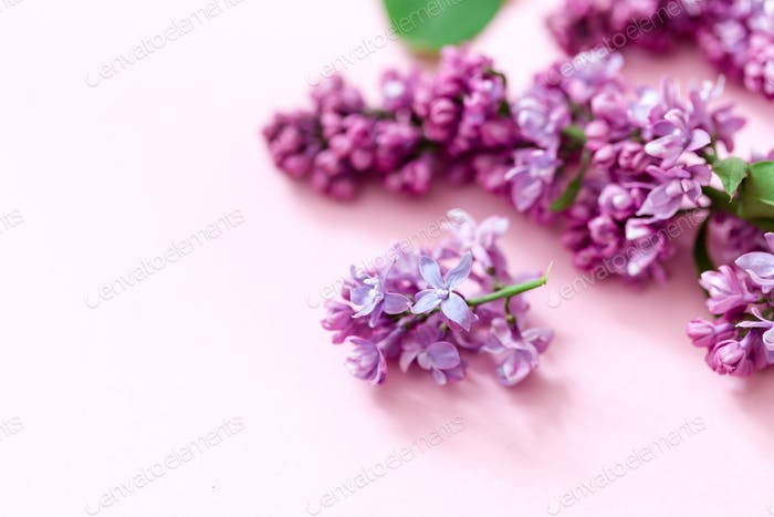 Spring flowers. Frame of twigs of blooming lilac on a pink background. top view. place for text