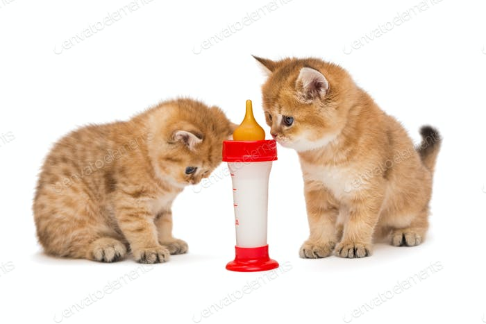 Two little red kitten and bottle of milk