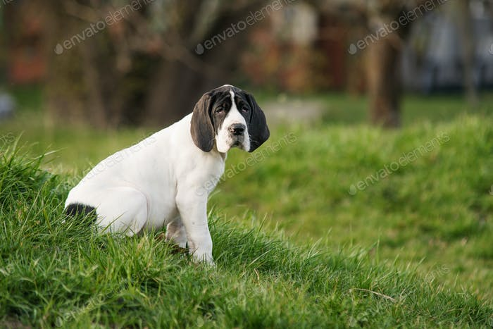 puppy great dane on the grass