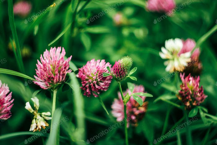 beautiful fresh pink flowers of clover in summer colorful meadow