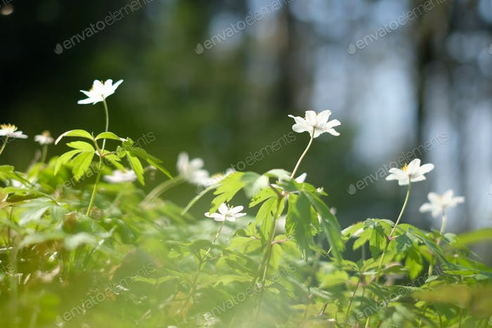 White Anemona flowers on spring forest closeup
