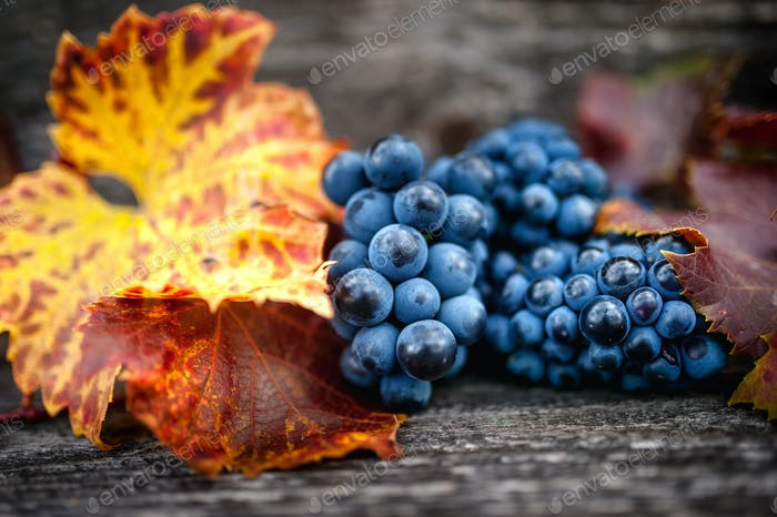 Autumn harvest at vineyard with fresh, bio red grapes. Autumn theme or background
