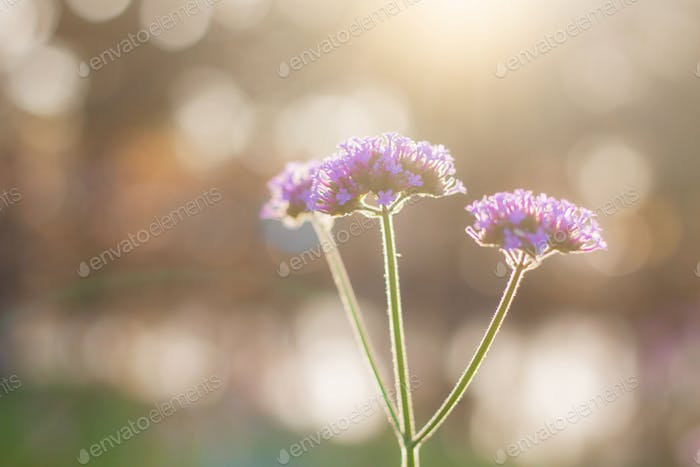 Purple flowers at morning