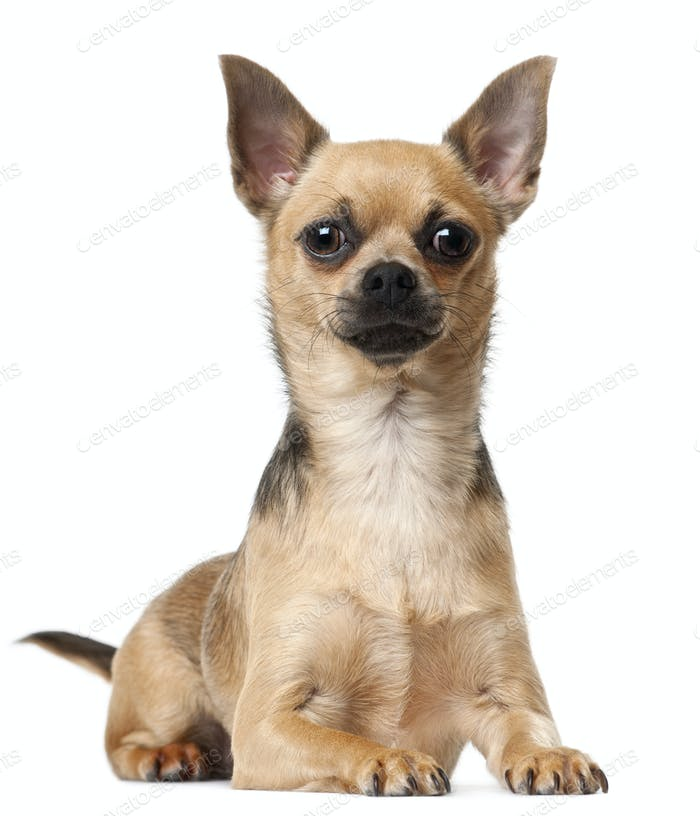 Chihuahua, 12 months old, lying in front of white background
