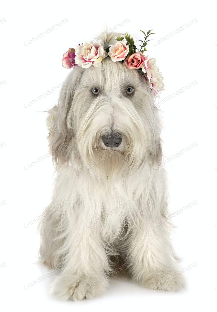 bearded collie in studio