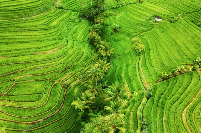 Bali island, Indonesia. Aerial view of rice terraces and forest
