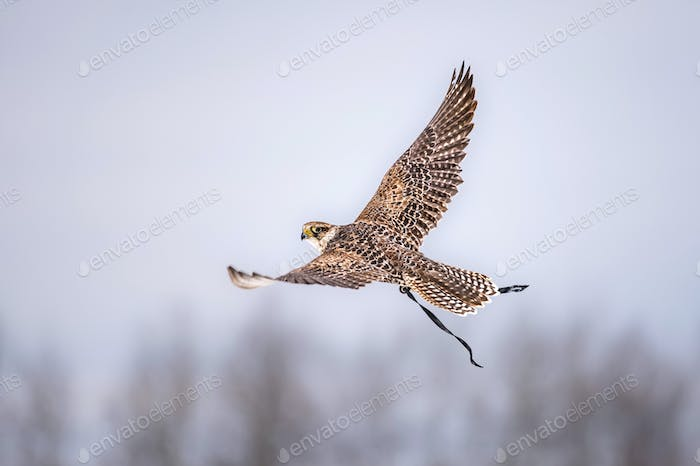 Hunting With Peregrine Falcon.