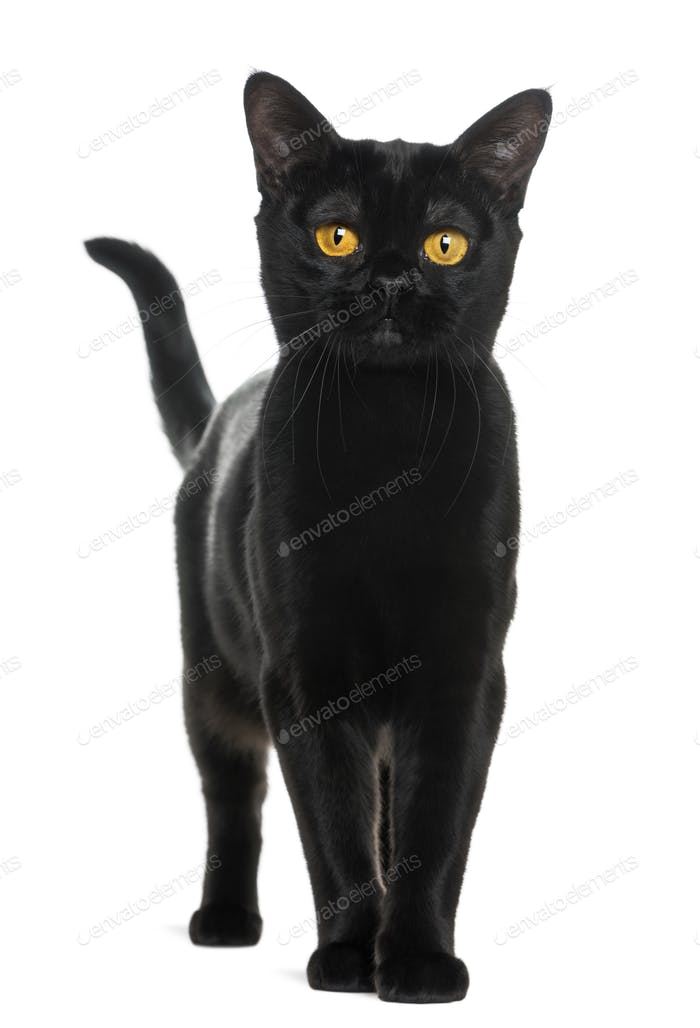 Bombay cat looking at the camera, isolated on white