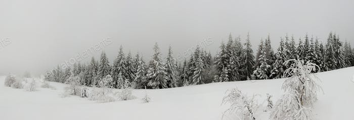 Fabulous snow-covered panorama of spruce trees