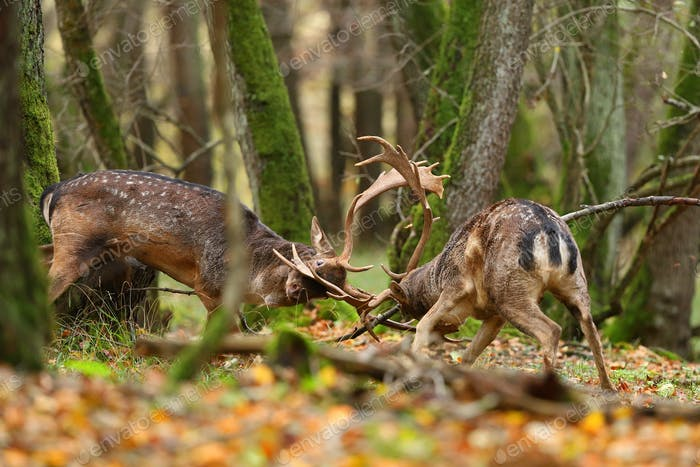 Two fallow deer stags fighting in forest in autumn nature