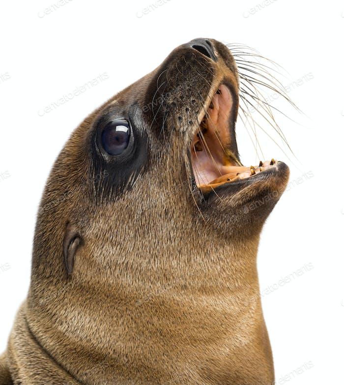 Close-up of a Young California Sea Lion, Zalophus californianus, 3 months