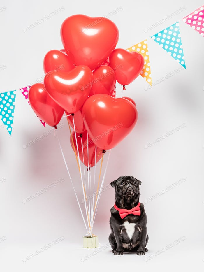 Black pug dog in a red bowtie with valentine decorations.