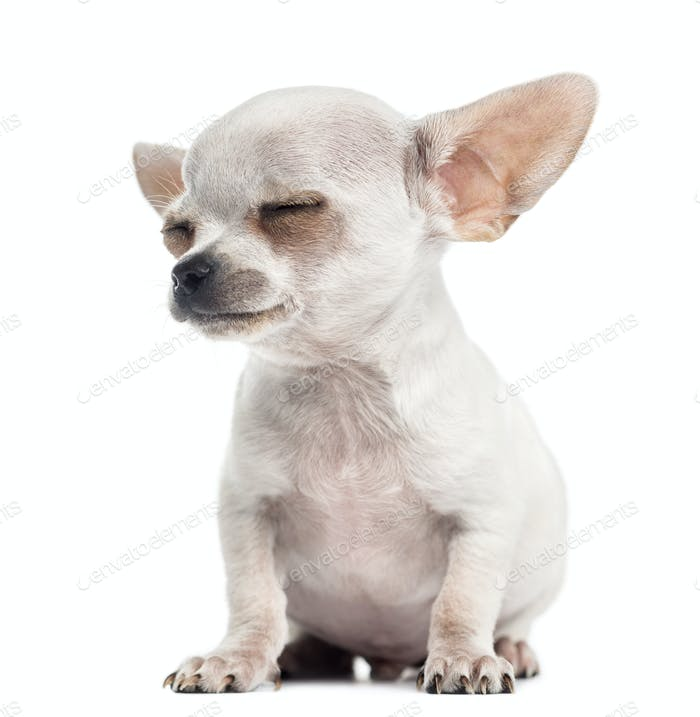 Chihuahua puppy sitting eyes closed, 4 months, isolated on white