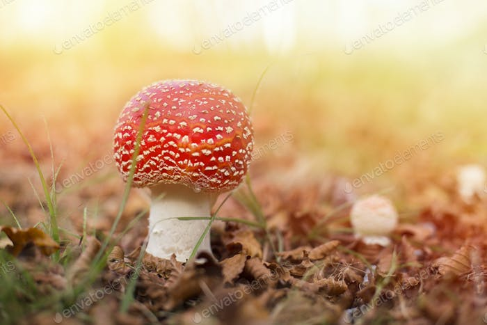 specimen of fly agaric in an autumn mountain forest