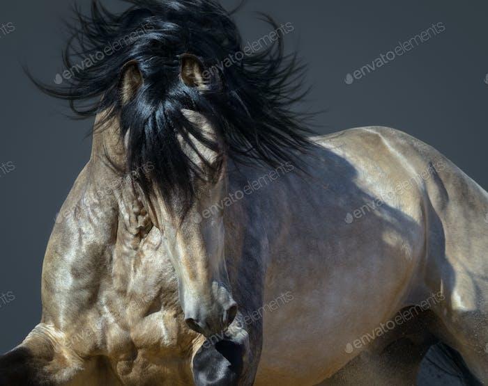 Golden dun Purebred Andalusian horse.