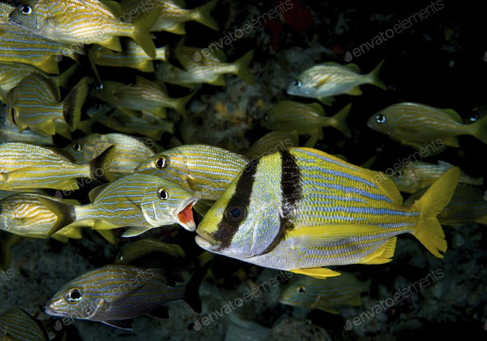 A Bluestriped grunt (Haemulon sciurus) opens his mouth in preparation for cleaning, Key Largo,