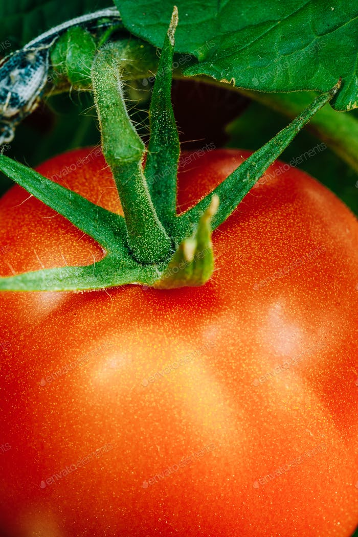 Growing Organic Tomato Closeup. Ripe Red Homegrown Tomato In Veg