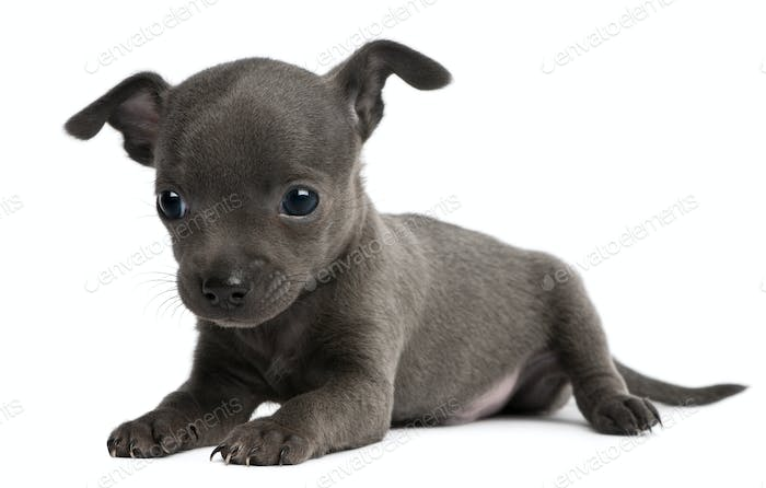 Chihuahua puppy, 6 weeks old, lying in front of white background
