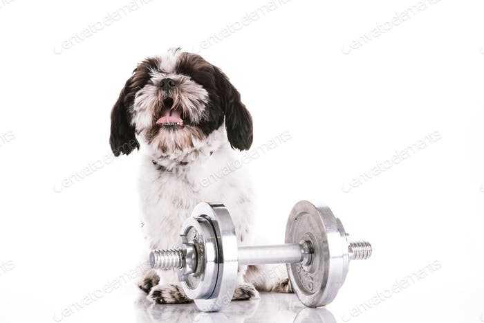 Adorable dog with dumbbells on white background