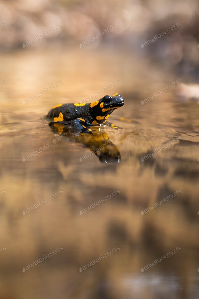 Slow fire salamander resting in water with blurred riverbank in background