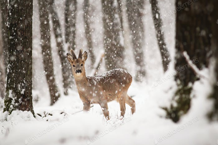 Roe deer buck in winter forest with snow falling around