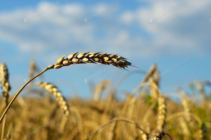 Wheat ears sunny day under blue sky