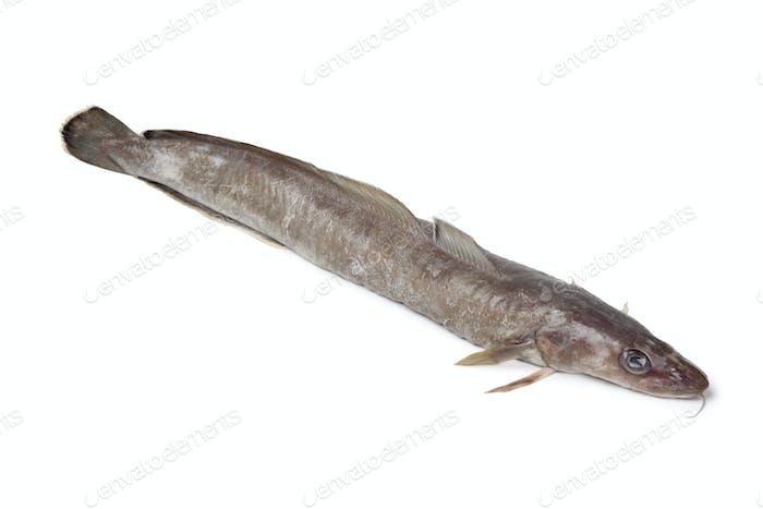 Fresh ling fish