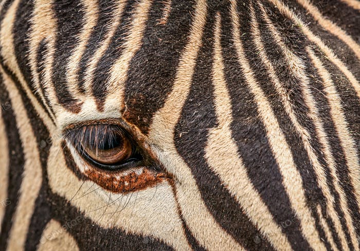 The eye of zebra