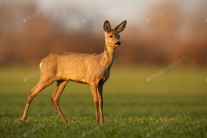 Innocent roe deer doe looking aside from side view on sunny spring evening
