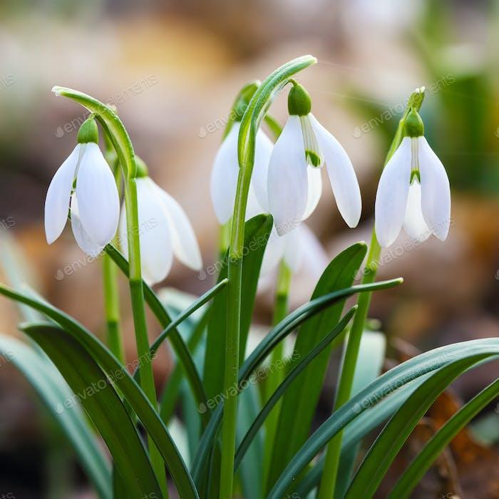 Frühling Schneeglöckchen Blumen blühen an sonnigen Tag