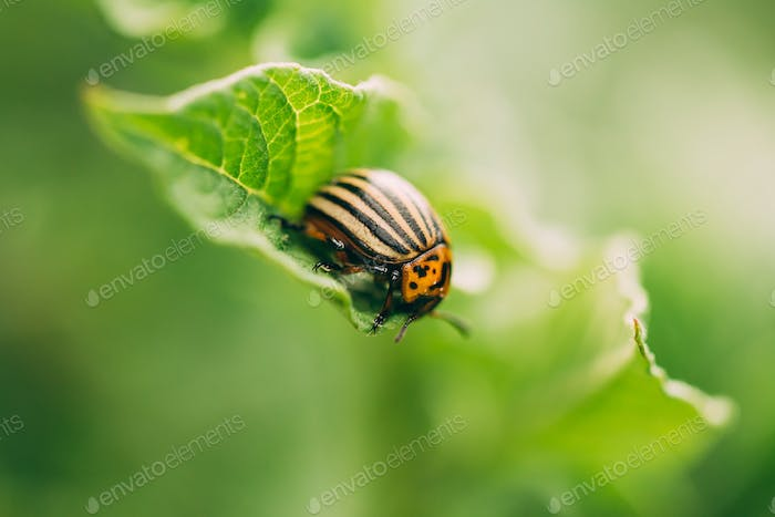 Striped Beetle - Leptinotarsa Decemlineata Is A Serious Pest Of