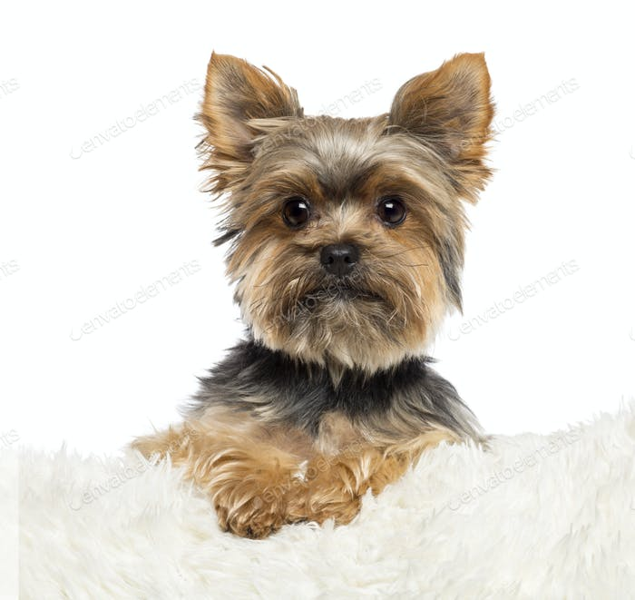 Yorkshire Terrier, 3 years old, lying on white fur against white background