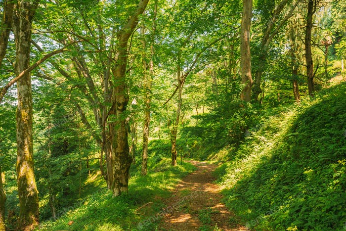 Batumi, Adjara, Georgia. Botanical Garden. Lane, Path, Way For Light Walking In Summer Deciduous