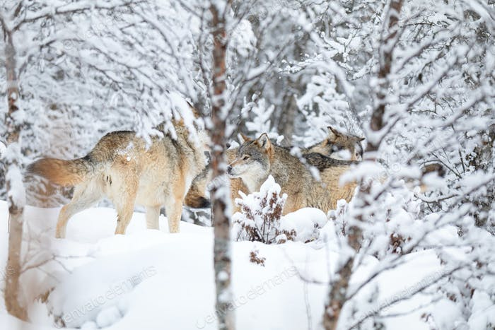 Wolves in wolf pack in the forest a snowy day at winter