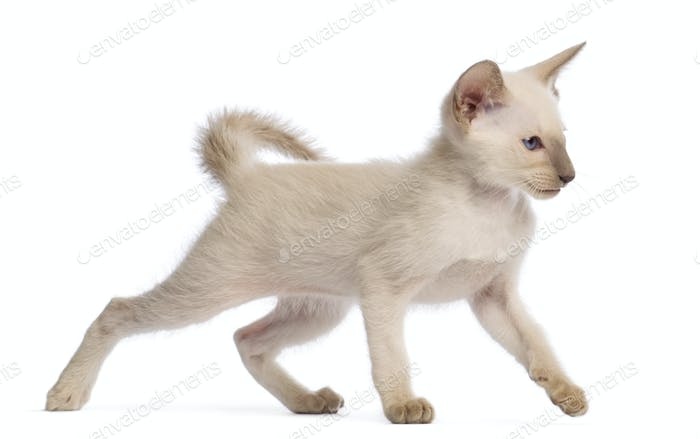 Oriental Shorthair kitten, 9 weeks old, walking against white background