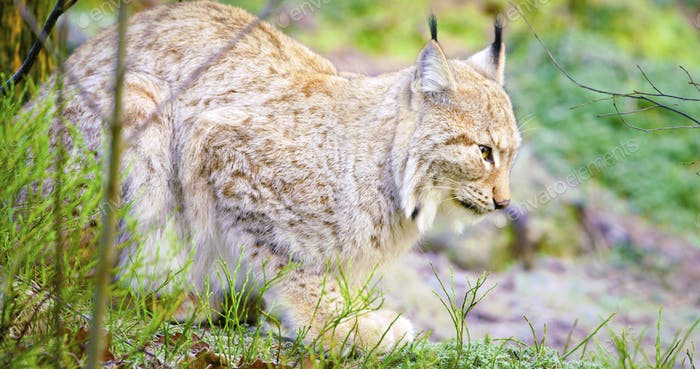 One european lynx cat lies in the forest at early winter